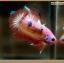 ปลากัดครีบสั้นหางพระจันทร์ครึ่งดวง - Halfmoon Plakat Fancy Orange and Pink thumbnail 5