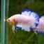 คัดเกรดปลากัดครีบสั้น-Halfmoon Plakad Fancy Marble Qaulity Grade thumbnail 2