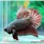 คัดเกรดปลากัดครีบสั้น-Halfmoon Plakad Fancy Copper thumbnail 3