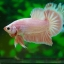 คัดเกรดปลากัดครีบสั้น-Halfmoon Plakad Premium Grade Fancy Colors Pink Big Tails thumbnail 7
