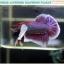 """(ขายแล้วครับ)""""คัดเกรด""""ปลากัดครีบสั้นหูช้าง-Halfmoon Plakats Big Ear Lavender thumbnail 10"""