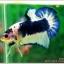 Hi - Premium Grade AAA+ คัดเกรดปลากัดครีบสั้น-Over Tails Halfmoon Plakad Fancy Blue Marble thumbnail 9