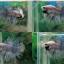 (ขายแล้วครับ)ตอนรับเทศกาล สงกรานต์ ปลากัดครีบยาวหางมงกุฏ-Crowntails Fancy thumbnail 1