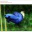 คัดเกรดปลากัดครีบสั้น-Halfmoon Plakat Super Blue thumbnail 1