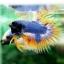 (ขายแล้วครับ)ปลากัดครีบยาวหางมงกุฎ-Crowntails04 thumbnail 5