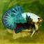 """""""คัดเกรด""""ปลากัดครีบสั้น-Halfmoon Plakats Fancy Dragon thumbnail 4"""