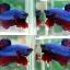 """(ขายแล้วครับ)""""คัดเกรด""""ปลากัดครีบสั้น-Halfmoon Plakats Fancy Blue Red thumbnail 1"""