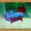 ปลากัดครีบสั้น - Fancy Halfmoon Plakats thumbnail 7