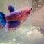 ปลากัดครีบยาวหางมงกุฎตัวเมีย - Female CrownTails Fancy Thailand thumbnail 1