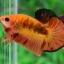 ปลากัดคัดเกรดครีบสั้น - Halfmoon Plakad Fancy Orange Premium Quality Grade AAA+ thumbnail 2