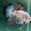 """(ขายแล้วครับ)""""คัดเกรด""""ปลากัดครีบสั้น-Halfmoon Plakats Fancy Koi Red Mark thumbnail 6"""