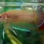 ปลากัดครีบสั้น - Halfmoon Plakats Yellow thumbnail 4