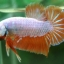 """(ขายแล้วครับ)""""คัดเกรด""""ปลากัดครีบสั้น-Halfmoon Plakats Orange Dragon Sweet thumbnail 5"""