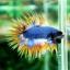 (ขายแล้วครับ)ปลากัดครีบยาวหางมงกุฎ-Crowntails04 thumbnail 6