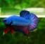 คัดเกรดปลากัดครีบสั้น-Halfmoon Plakat Fancy Green Dragon thumbnail 1