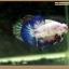 คัดเกรดปลากัดครีบสั้น-Halfmoon Plakat Fancy Blue Dragon and Marble thumbnail 2