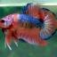 (ขายแล้วครับ)Fancy Orange Over ปลากัดครีบสั้น-Halfmoon Plakats thumbnail 4