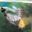 (ขายแล้วครับ)ปลากัดครีบยาวหางมงกุฏ-Crowntails Fancy Copper thumbnail 2