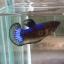 ปลากัดคัดเกรดครีบสั้นตัวเมีย - Female Halfmoon Plakad Fancy Mustrad Quality Grade AAA+ thumbnail 1