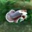 """(ขายแล้วครับ)""""คัดเกรด""""ปลากัดครีบสั้น-Halfmoon Plakats Big Ear Lavender thumbnail 4"""