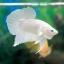 """(ขายแล้วครับ)""""คัดเกรด""""ปลากัดครีบสั้น-Halfmoon Plakats White Platinum thumbnail 7"""