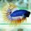 (ขายแล้วครับ)ปลากัดครีบยาวหางมงกุฎ-Crowntails02 thumbnail 5