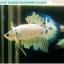 """""""คัดเกรด""""ปลากัดครีบสั้น-Halfmoon Plakats Fancy Marble thumbnail 5"""