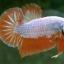 """(ขายแล้วครับ)""""คัดเกรด""""ปลากัดครีบสั้น-Halfmoon Plakats Orange Dragon Sweet thumbnail 11"""