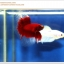 คัดเกรดปลากัดครีบยาว-Halfmoon Red Butterfy Nice Grade thumbnail 3