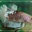 """(ขายแล้วครับ)""""คัดเกรด""""ปลากัดครีบสั้นเนียนๆสวยขั้นเทพ-Halfmoon Plakats Fancy Koi thumbnail 3"""