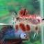 """(ขายแล้วครับ)""""คัดเกรด""""ปลากัดครีบสั้น-Halfmoon Plakats Fancy Red Koi thumbnail 15"""