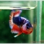 Hi - Premium Grade AAA+ คัดเกรดปลากัดครีบสั้น-Over Tails Halfmoon Plakad Fancy Blue Orange thumbnail 3