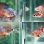 """(ขายแล้วครับ)""""คัดเกรด""""ปลากัดครีบสั้นตัวเมีย-Female Halfmoon Plakats Fancy Red Koi thumbnail 1"""