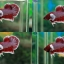 """(ขายแล้วครับ)""""คัดเกรด""""ปลากัดครีบสั้นหูช้าง-Halfmoon Plakats Super BigEar Lavender thumbnail 3"""