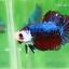 (ขายแล้วครับ)ปลากัดครีบสั้น-Fancy Halfmoon Plakats thumbnail 2