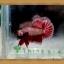 (ขายแล้วครับ)ปลากัดครีบสั้น-Halfmoon Plakats thumbnail 4