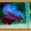 ปลากัดครีบสั้น - Fancy Halfmoon Plakats thumbnail 5