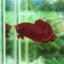 """(ขายแล้วครับ)""""คัดเกรด""""ปลากัดครีบสั้น-Halfmoon Plakats Super Red#1 Grade B+ thumbnail 4"""