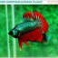 """(ขายแล้วครับ)""""คัดเกรดประกวด""""ปลากัดครีบสั้น-Over Halfmoon Plakats Fancy Dragon Green Red Quality Grade thumbnail 3"""