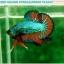 """(ขายแล้วครับ)""""คัดเกรดประกวด""""ปลากัดครีบสั้น-Over Halfmoon Plakats Fancy Dragon Green Orange Quality Grade thumbnail 4"""
