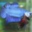 """(ขายแล้วครับ)""""คัดเกรด""""ปลากัดครีบสั้น-Halfmoon Plakats Fancy Blue thumbnail 5"""