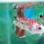 """(ขายแล้วครับ)""""คัดเกรด""""ปลากัดครีบสั้น-Halfmoon Plakats Fancy Red Koi thumbnail 2"""