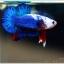 คัดเกรดปลากัดครีบสั้น-Halfmoon Plakat Blue Dragon White Monster thumbnail 3