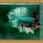(ขายแล้วครับ)Halfmoons ปลากัดครีบยาว หางพระจันทร์ครึ่งดวง thumbnail 6