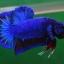 คัดเกรดปลากัดครีบสั้น-Halfmoon Plakat Fancy Blue Dragon thumbnail 2