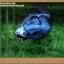 คัดเกรดปลากัดครีบสั้น- Halfmoon Plakat Fancy Blue Dragon thumbnail 4