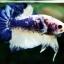 """(ขายแล้วครับ)""""คัดเกรด""""ปลากัดครีบสั้น-Halfmoon Plakats Fancy Marble thumbnail 6"""