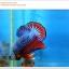 คัดเกรดปลากัดครีบสั้น-Halfmoon Plakat Fancy Blue Red Dragon thumbnail 1