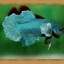 ปลากัดครีบสั้น - Halfmoon Plakats Green thumbnail 2
