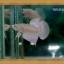 (ขายแล้วครับ)White Opac ปลากัดครีบสั้น thumbnail 1